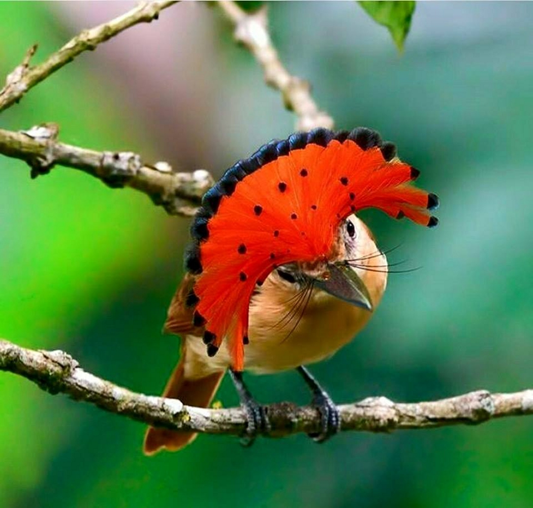 Dear webby humor letter blog formatting dvds amazonian royal flycatcher from fb visit the world of birds fandeluxe Choice Image